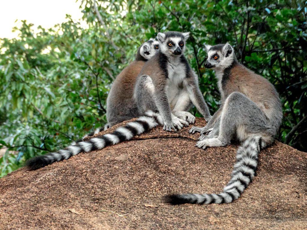 Maki, Madagaskar